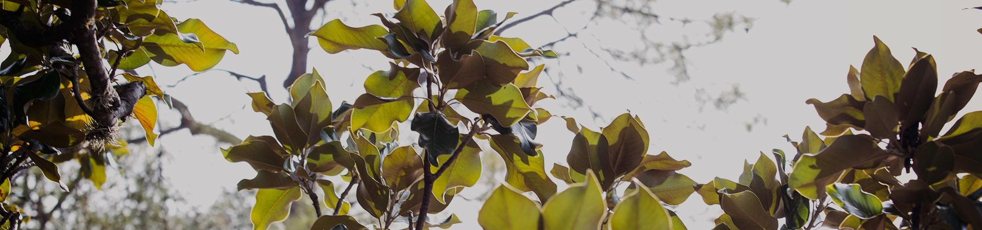 magnoliatree1